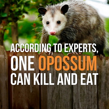 Searching For Opossum